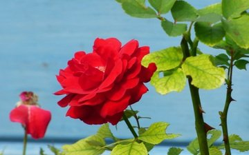 листья, цветок, роза, лепестки, куст, стебли, красная роза