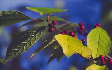 небо, природа, листья, ветки, ягоды, плоды