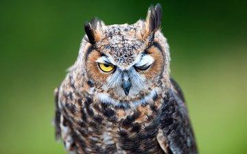 owl, background, predator, bird, beak, feathers, long-eared owl