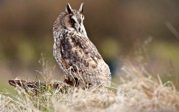 grass, owl, bird, beak, ears, feathers, stump, short-eared owl, long-eared owl