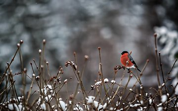 snow, branches, bird, feathers, bullfinch