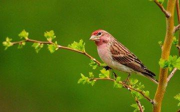 branch, leaves, bird, beak, feathers, lentils