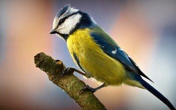branch, nature, background, bird, beak, feathers, tit