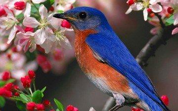 flowers, branch, bird, beak, feathers, sialia