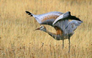 grass, field, wings, bird, stroke, crane