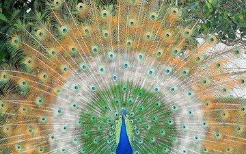 bird, beak, peacock, feathers, tail