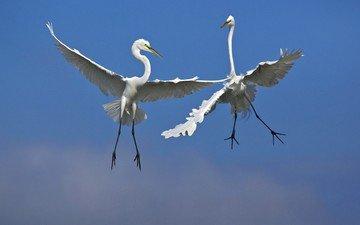небо, полет, крылья, птицы, цапли, белая цапля