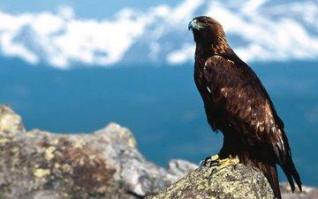 nature, bird, beak, eagle, golden eagle, bird of prey