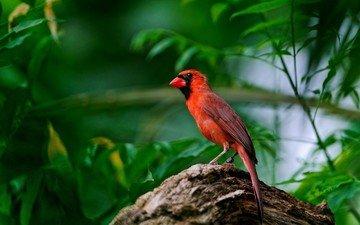nature, leaves, background, wings, bird, beak, feathers, cardinal