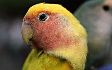 bird, beak, feathers, parrot, lovebird