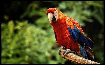 ветка, красный, размытость, птица, клюв, перья, попугай, ара