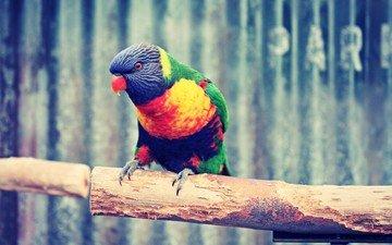 branch, bird, beak, feathers, parrot, rainbow lorikeet, multicolor lorikeet