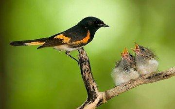 ветка, природа, птицы, забота, птенцы, гнездо, горихвостка