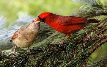 природа, хвоя, ветки, птицы, клюв, кардинал, зяблик