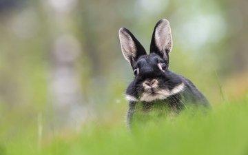трава, мордочка, взгляд, размытость, кролик, уши, заяц