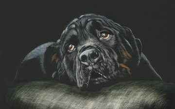 глаза, арт, взгляд, собака, ротвейлер, лежа