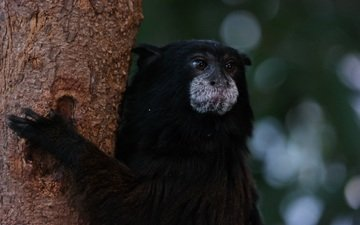 tree, animal, monkey, tamarin
