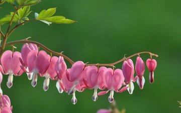 flowers, flowering, macro, pink flowers, the bleeding heart, broken heart