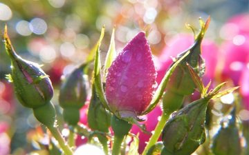 flowers, buds, roses, bokeh, water drops