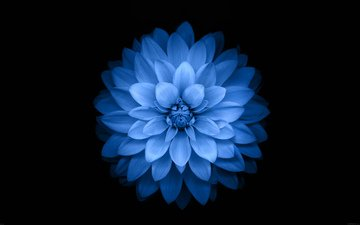 flower, petals, black background, blue flower, dahlia, closeup