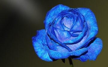 macro, flower, rose, petals