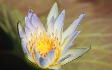 макро, цветок, лепестки, кувшинка, водяная лилия