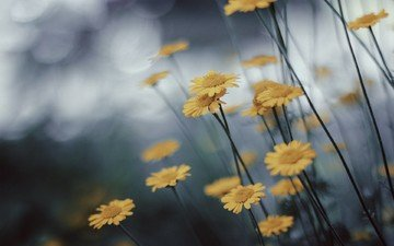 flowers, nature, macro, blur, chamomile, yellow, yellow flowers