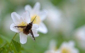 насекомое, крылья, муха, опыление, белые цветы, жужжала