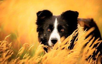 глаза, трава, взгляд, собака, колоски, бордер-колли