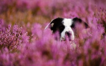 face, flowers, dog, blur, meadow, the border collie