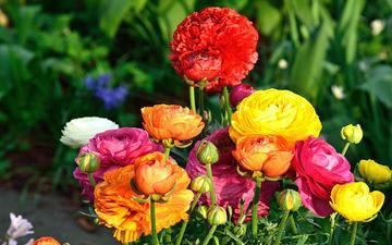 цветы, лепестки, букет, ранункулюс, лютик