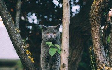 листья, кот, мордочка, усы, кошка, взгляд, британская короткошерстная