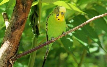 bird, beak, feathers, parrot, budgie