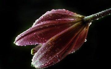цветок, роса, капли, лилия, бутон, черный фон, капли воды