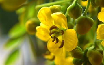 желтый, бутоны, цветок, лепестки, лютик