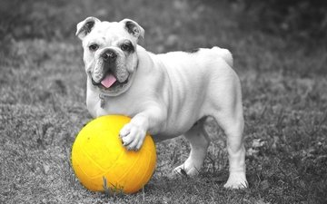трава, собака, игра, язык, мяч, бульдог
