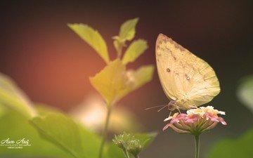 цветы, растения, листья, насекомое, бабочка, крылья