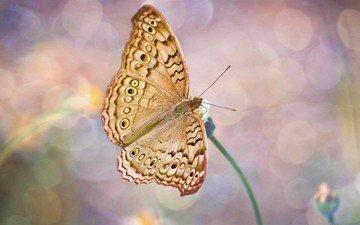 насекомое, цветок, бабочка, крылья, блики, стебель