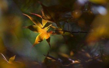 листья, макро, осень