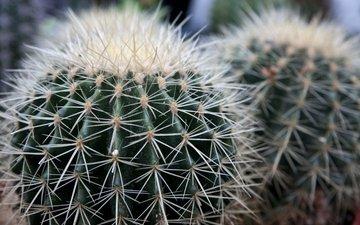flowers, macro, barb, cactus