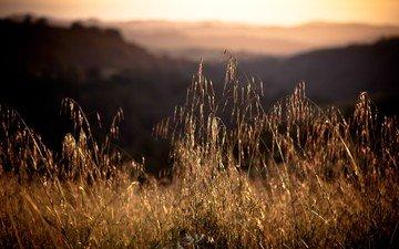 grass, sunset, field, spikelets