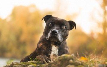 глаза, морда, взгляд, собака, размытость, питбуль