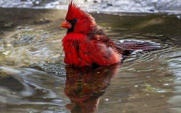 water, reflection, bird, beak, feathers, cardinal