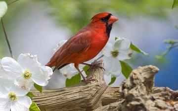flowers, bird, beak, spring, feathers, cardinal, jasmine