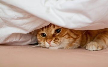 кот, мордочка, усы, кошка, взгляд, рыжий