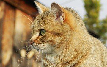кот, мордочка, усы, кошка, взгляд, профиль