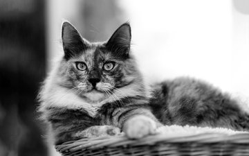 cat, muzzle, mustache, look, black and white, basket, lying