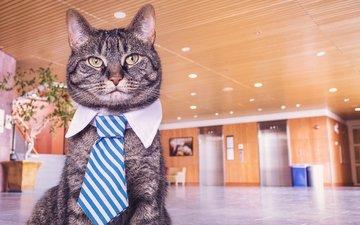 кот, мордочка, усы, кошка, взгляд, галстук