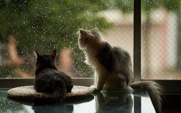 капли, дождь, пушистые, коты, окно, кошки
