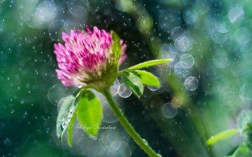 clover, flower, bokeh, shihyakowatari